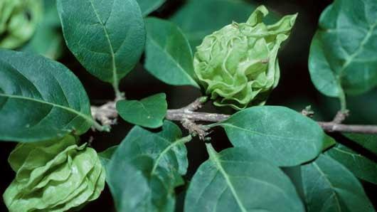 Coffea pterocarpa_microsite image (Main)
