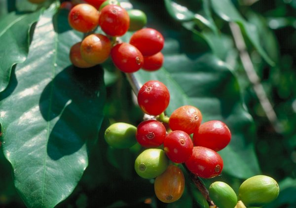 Arabica coffee fruit (Coffea arabica); each berry contains two seeds or beans