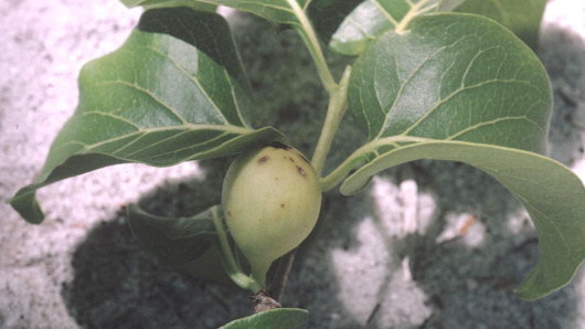 kbot00001077_plant_with_fruit_crop (Main)